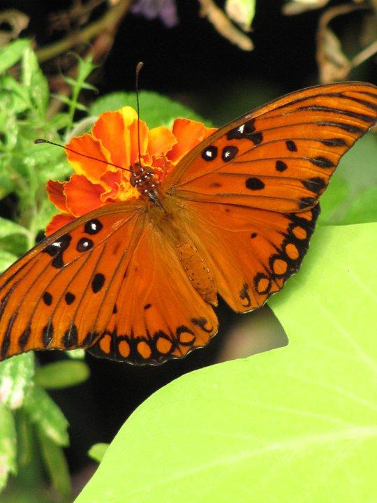 Beth Canupp Butterfly